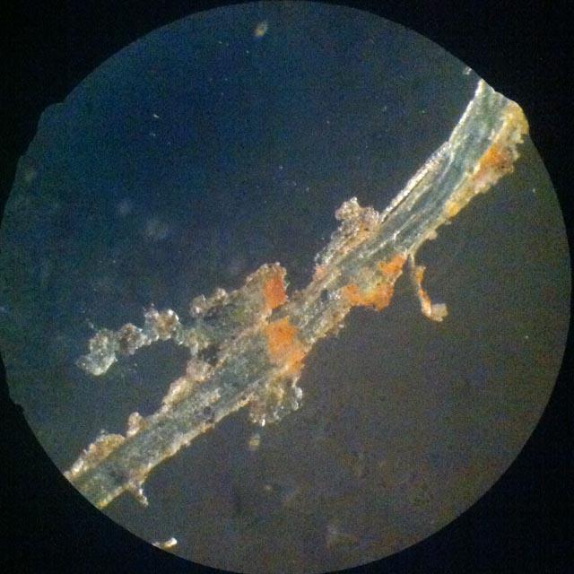 Fibre de lin sous microscope